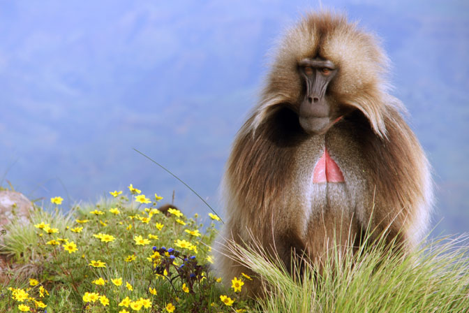 A male Gelada Baboon (Theropithecus gelada), Simien Mountains National Park 2012