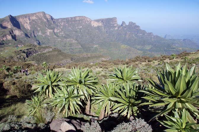 Giant lobelia (Lobelia rhynchopetalum), an the Afro-alpine plant, Simien Mountains National Park 2012