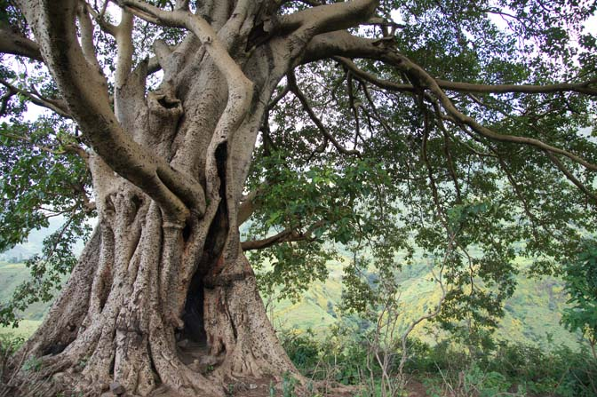 A big Ficus tree, Simien Mountains National Park 2012