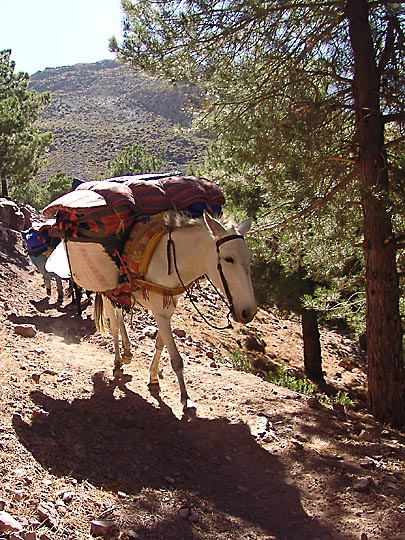 A mule loaded with trekkers' gear on the ascent from Imlil village to Tizi (pass) Tamatert, 2007