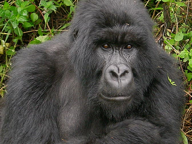 A Chief Silverback Mountain Gorilla, 2000