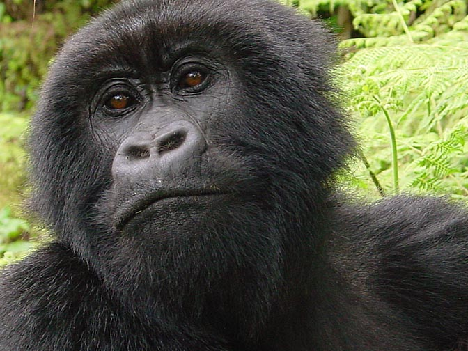 A female Silverback Mountain Gorilla, 2000