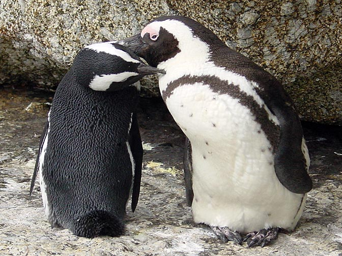 A couple of African Penguins (Spheniscus demersus) being affectionate, the Cape Peninsula 2000