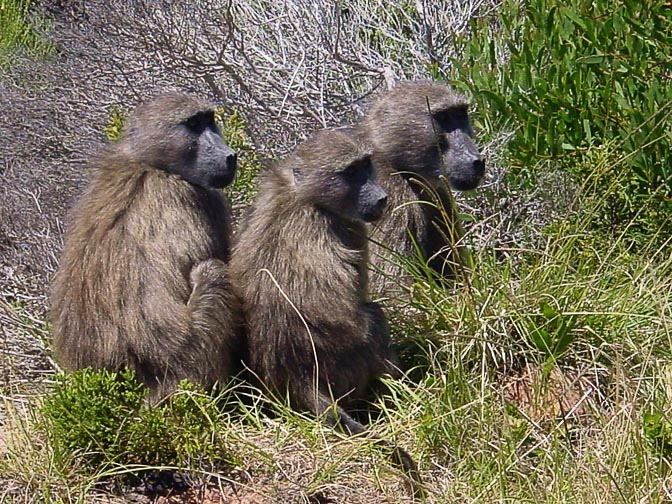 Baboons in the Cape of Good Hope, 2000