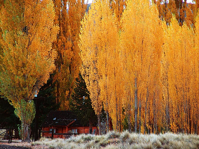 The glowing autumn foliage in Paso de Cordoba, the Neuquen province 2004