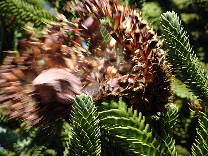Harvesting the edible seeds (Pinion) of the Araucaria fruit, the Neuquen province 2004