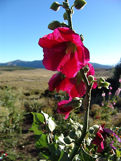 The Alcea flowers in overwhelming color, used to dye poncho wool, the Neuquen province 2004