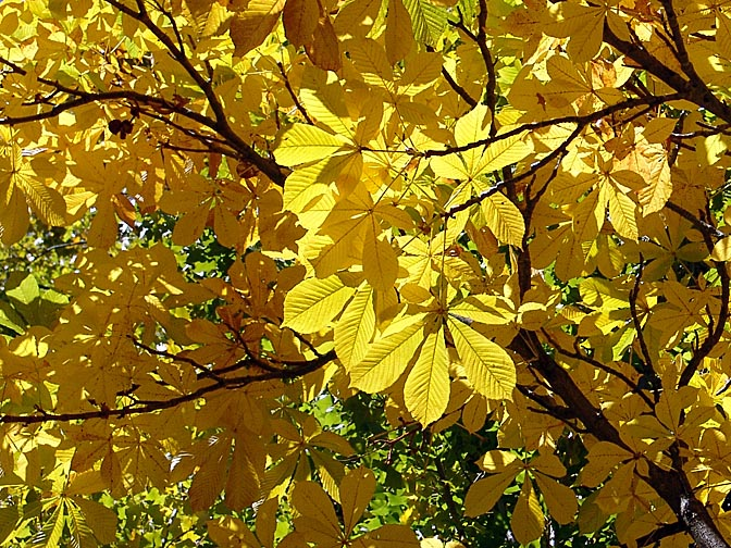Illuminated autumn foliage, the Neuquen province 2004