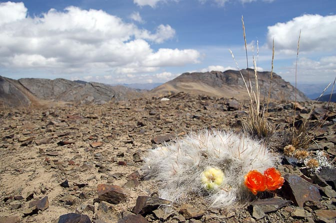 A prolific fuzzy cactus, known locally as Huagru, blossoms in vivid orange, with a sprouting fruit, Mount Huacrish 2008