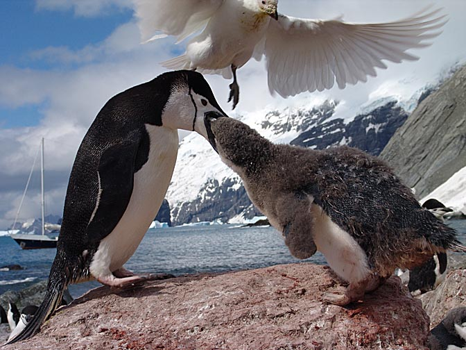 A Chinstrap Penguin (Pygoscelis antarctica) feeding his chick with a Snowy Sheathbill (Chionis alba) above, on Elephant Island 2004