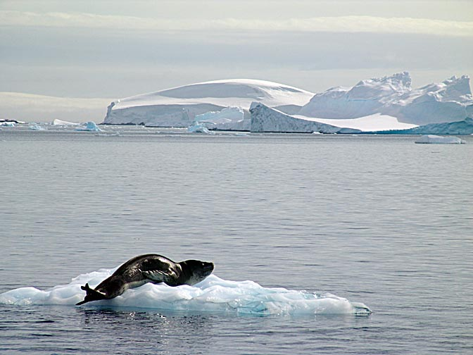 A Leopard Seal (Hydrurga leptonyx) on iceberg in Fournier Bay, 2004
