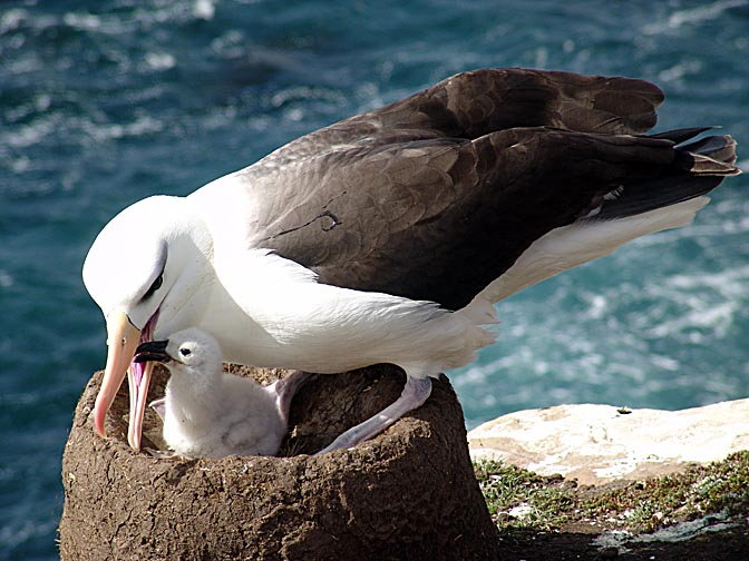 A Black-Browed Albatross (Thalassarche melanophris) feeding his chick, Saunders Island 2004