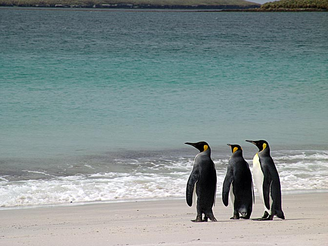 King Penguins (Aptenodytes patagonicus) on the beach, Bleaker Island 2004