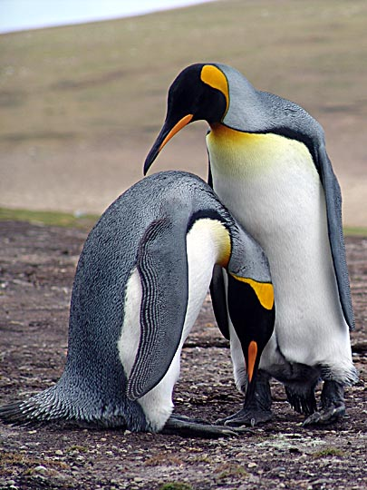 A couple of King Penguins (Aptenodytes patagonicus) showing affection, Saunders Island 2004