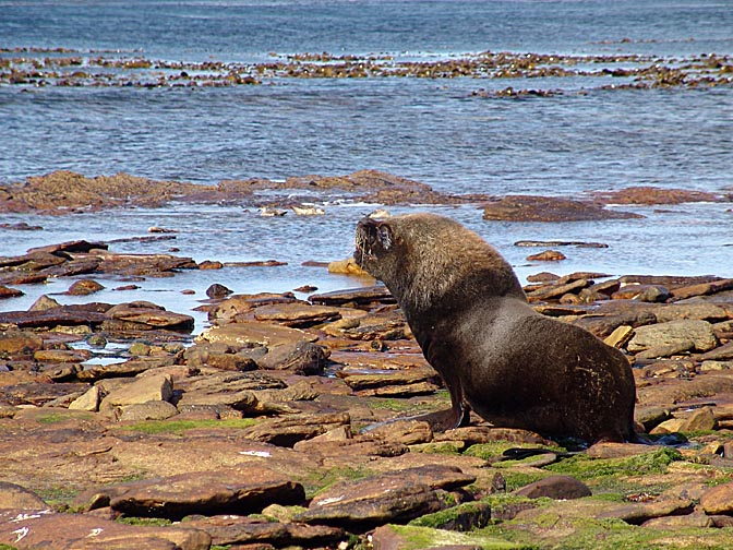 A South American Sea Lion (Otaria flavescens) bull rising, Carcass Island 2004