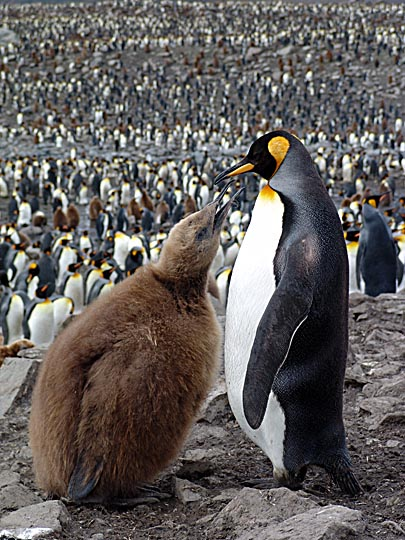 A King Penguin (Aptenodytes patagonicus) with chick in St Andrews Bay, 2004