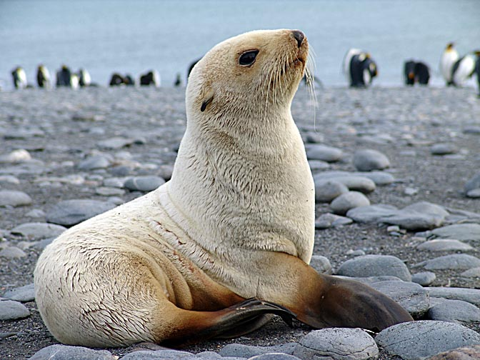 A blond Antarctic Fur Seal (Arctocephalus gazella) in the Bay of Isles, 2004