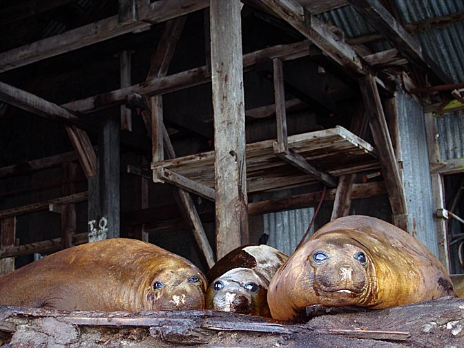 Southern Elephant Seals (Mirounga leonina) in a derelict station in Prince Olav Harbour, 2004