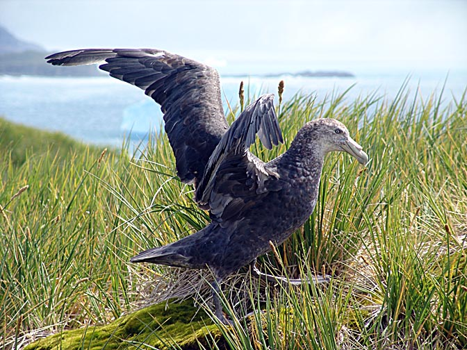 A Southern Giant Petrel (Macronectes giganteus, Antarctic Giant Petrel) taking off in the Bay of Isles, 2004