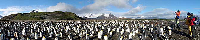 An enormous colony of King Penguin (Aptenodytes patagonicus) on Salisbury Plain in the Bay of Isles, 2004