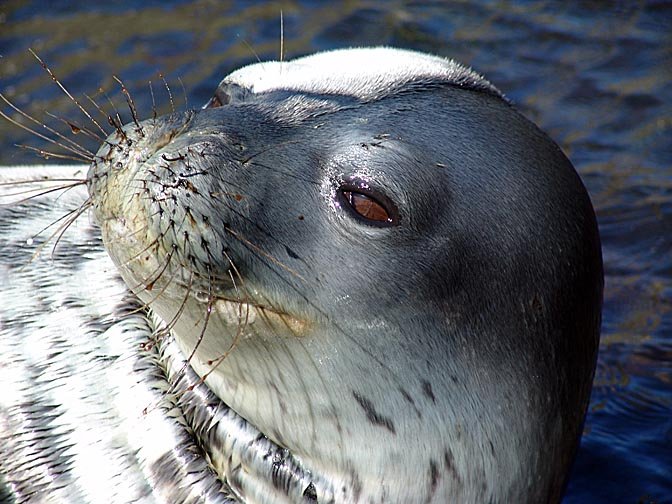 The colorful head of a Weddell Seal (Leptonychotes weddellii) in Larsen Harbour, 2004