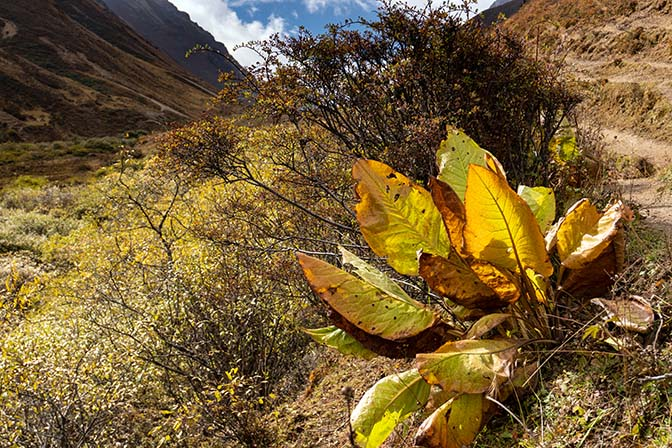 Flora on the way from Lingzhi to Yelila pass, October 2018