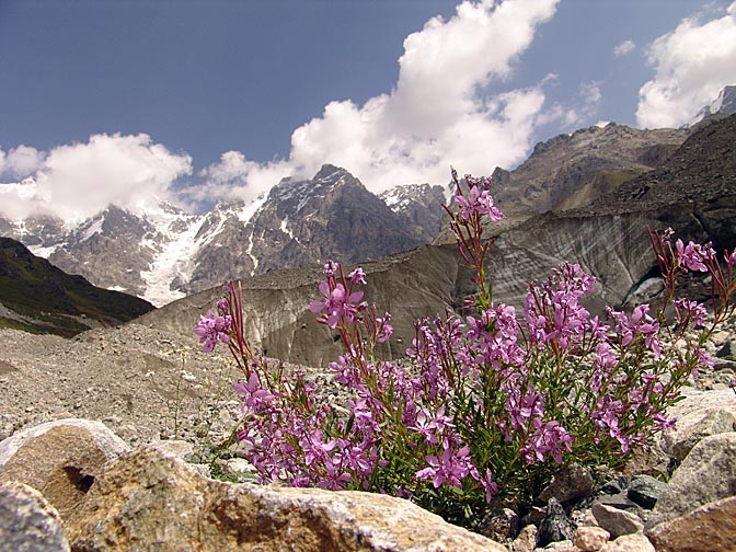 Pink blossoms at the foot of Shkhara Glacier, Upper Svaneti 2007