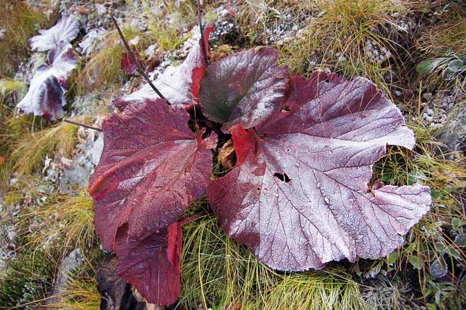 Frost on the big red leaves of Silver Rheum, on the ascent from Bedni Bugyal, Roopkund trek 2011