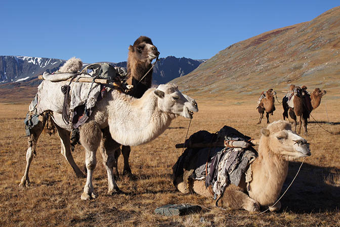 The Bactrian camels (Camelus bactrianus) ready for loading the trekking equipment, 2014
