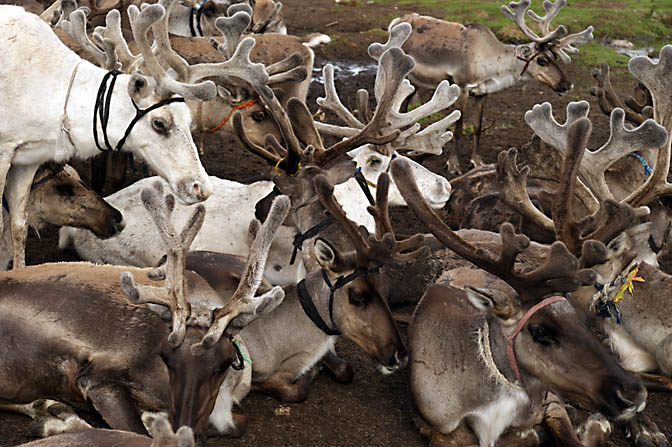 The reindeer herd of the Tsaatan community in the East Taiga, North Mongolia 2010
