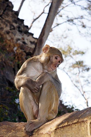 A monkey in Taung Kalat Temple, Mt Popa 2015
