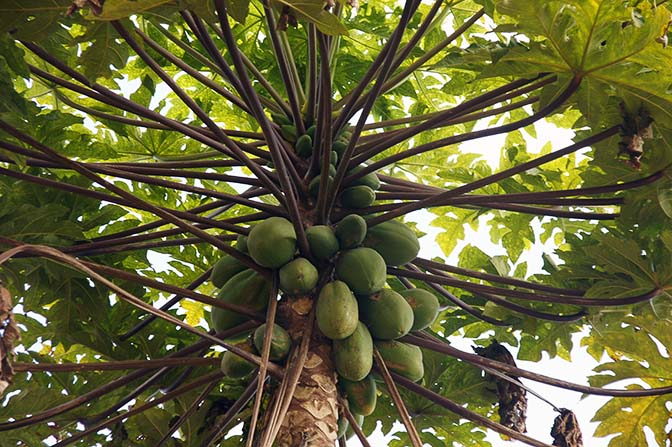 Papaya tree around Hsipaw, 2016