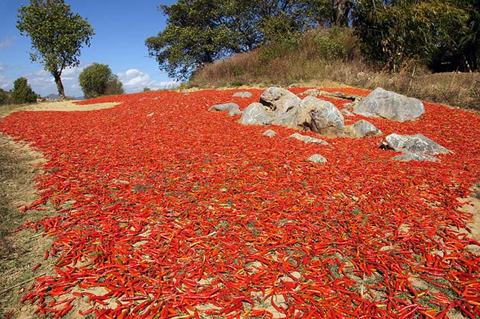 Drying the red hot chili peppers in the sun, Kalaw to Inle Lake trek 2015