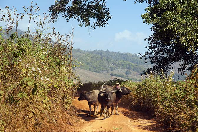 Buffalo on the trail, Trek around Hsipaw 2016