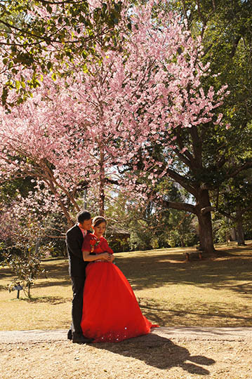 Bride and groom wedding photography with Cherry Blossom in the Botanical Gardens, Pyin Oo Lwin 2016