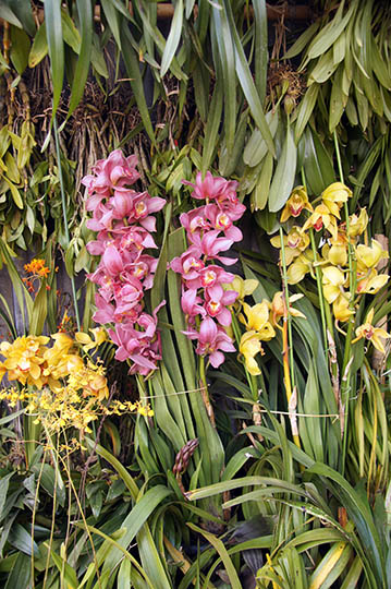 Colorful orchids, Nyaungshwe 2016