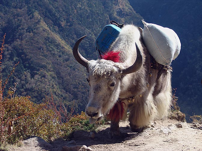 A loaded Yak, on the way from Namche Bazaar to Tengboche, 2004