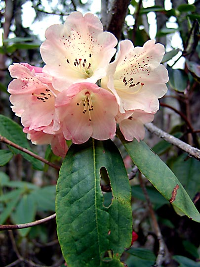 A yellow Pink Rhododendron blossom, between Phole and Ghunsa, 2006