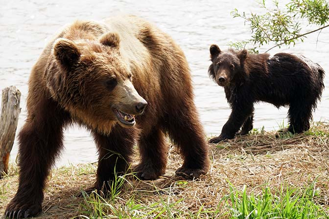 Kamchatka brown mother bear and her cub at Kurilskoye Lake, 2016