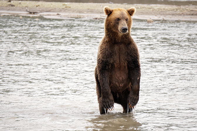 A male Kamchatka brown bear searching for migrating salmon at Khakytsin river, Kuril Lake 2016