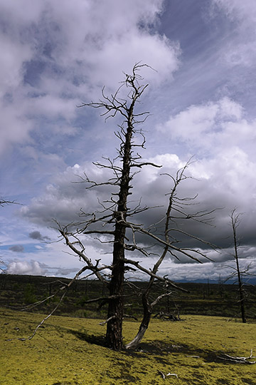 A dead tree in the Dead Forest at the foot of Tolbachic Volcano, who died at the 1975-1976 erruptions, 2016