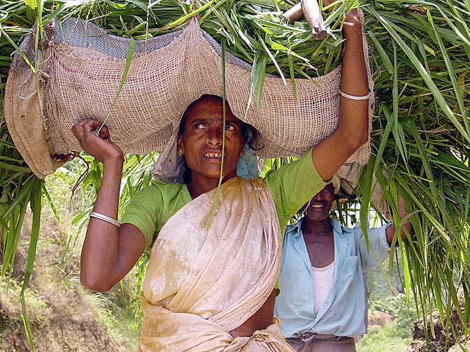 A Tamil woman carrying canes on her head, around Nuwara Eliya, 2002