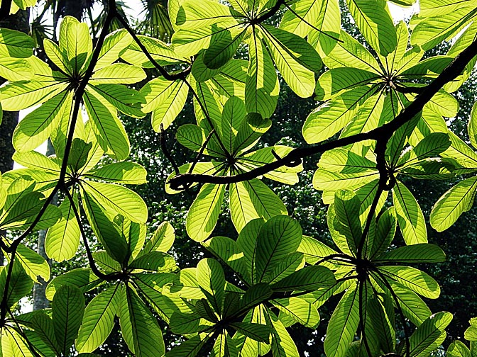 The sunlight through the tree leaves, in Kandy's Botanical Gardens, 2002