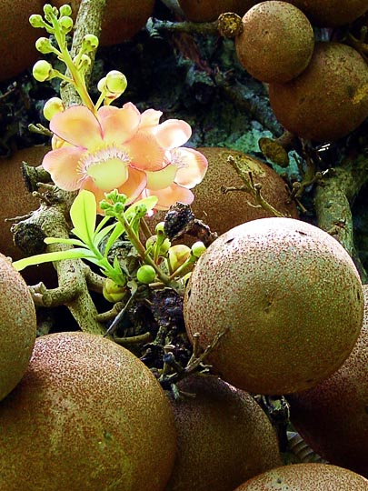 An amazing Cannon-ball tree (Couroupita guianensis), in Kandy's Botanical Gardens, 2002