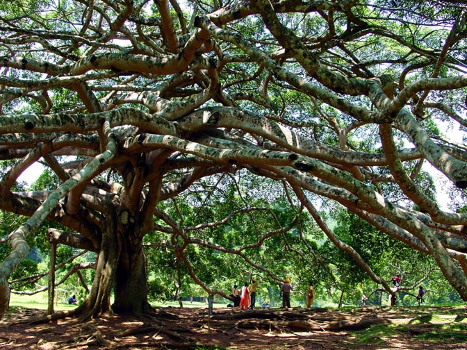 A Giant Ficus Binyamina, a forest by one tree, in Kandy's Botanical Gardens, 2002