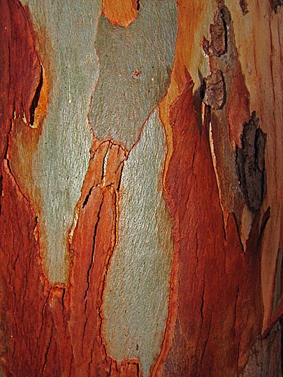 A River Red Gum (Eucalyptus camaldulensis) trunk in the Sharon Park Hadera forest, Israel 2000