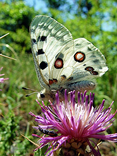 A Centaurea and a Parnassius apollo butterfly in Kure Mountains, Turkey 2003