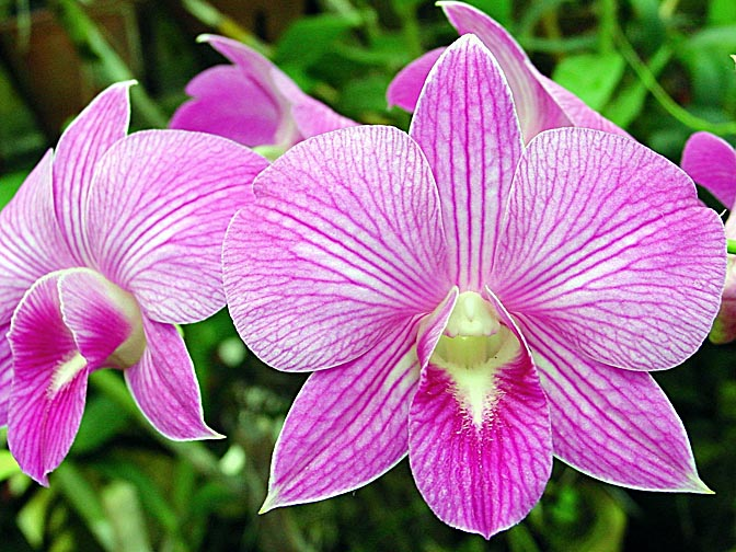 An Orchid blossom in Kandy's Botanical Gardens, Sri Lanka 2002