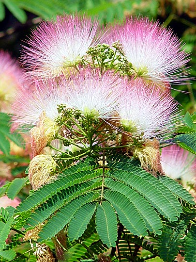 An Albizia Julibrissin (Mimosa, Silk Tree) blossoms in the Hippodrome of Istanbul, Turkey 2003