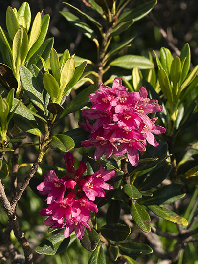 Alpenrose (Rhododendron ferrugineum) flowers, France 2018